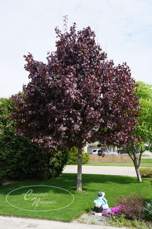 Crimson King Norway Maple Image