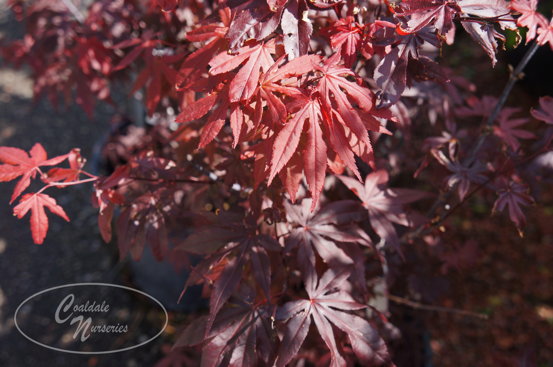 Japanese Maple Image