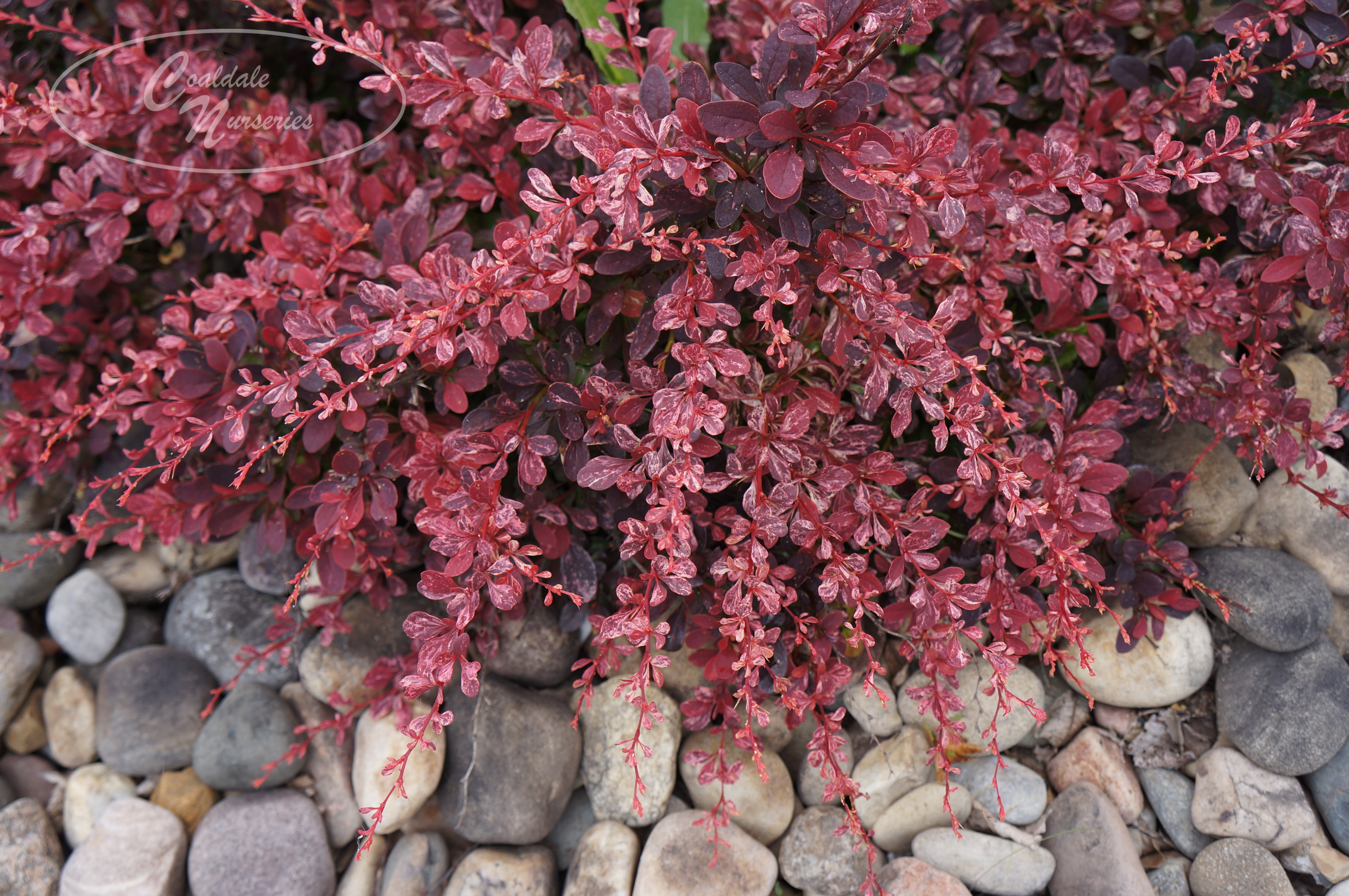 Rose Glow Barberry Image