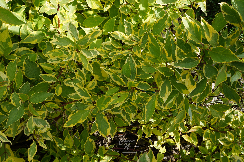 Golden Variegated Dogwood Image