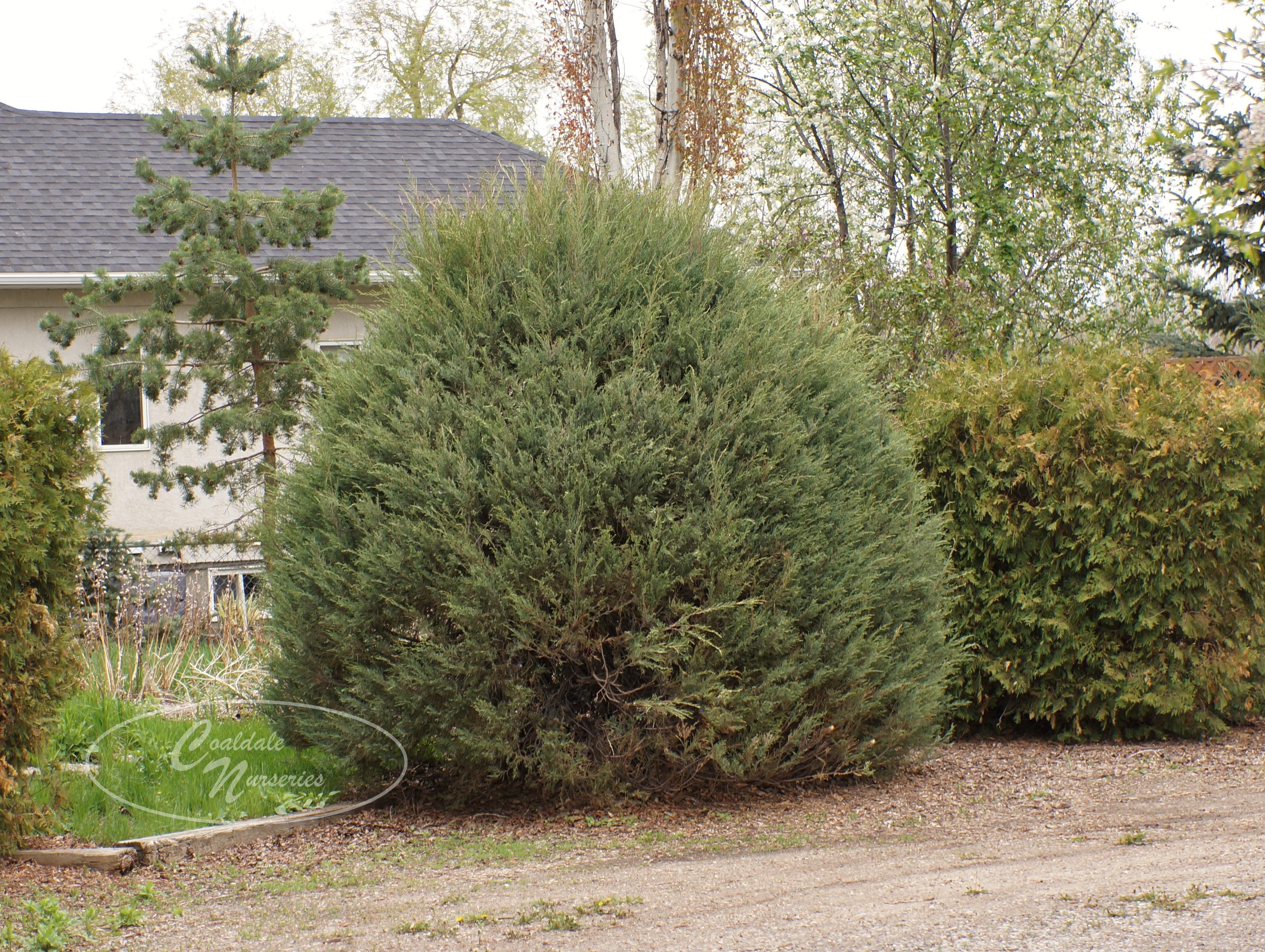 Cologreen Juniper Image