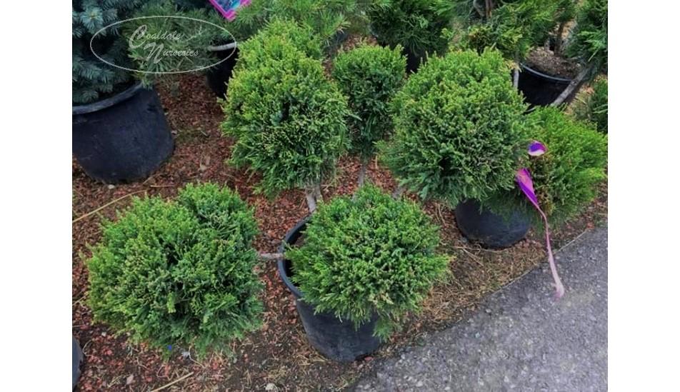 Mint Julep Juniper-Pom Pom/Topiary Image
