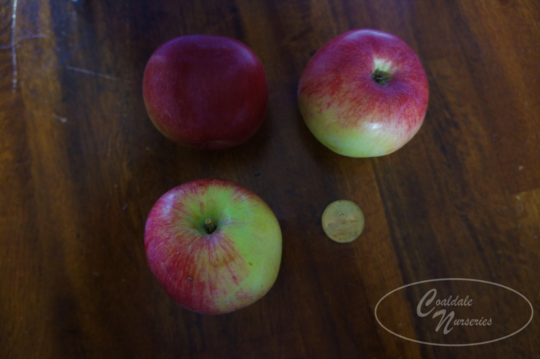 Honeycrisp Apple Image