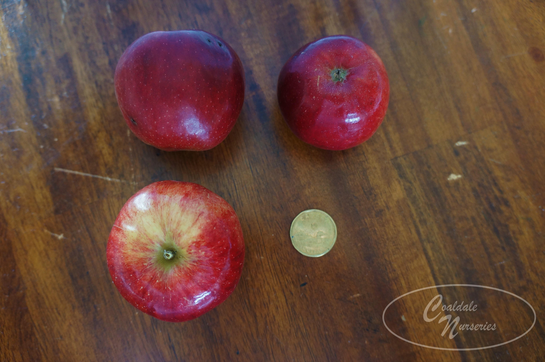 September Ruby Apple Image