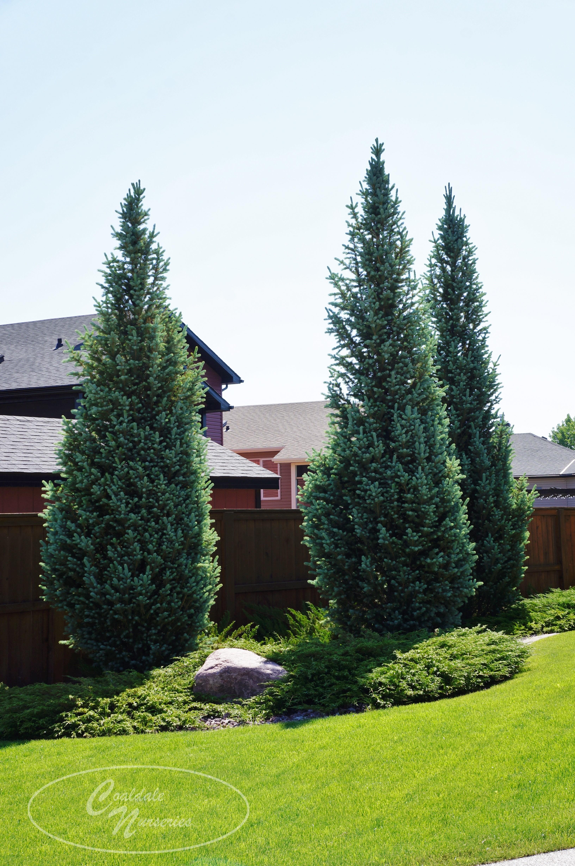 Columnar Blue Spruce Image