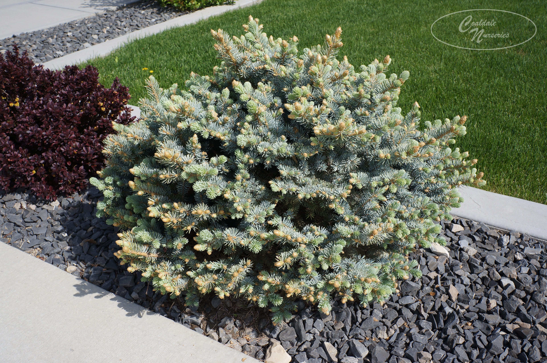Globe Blue Spruce Image