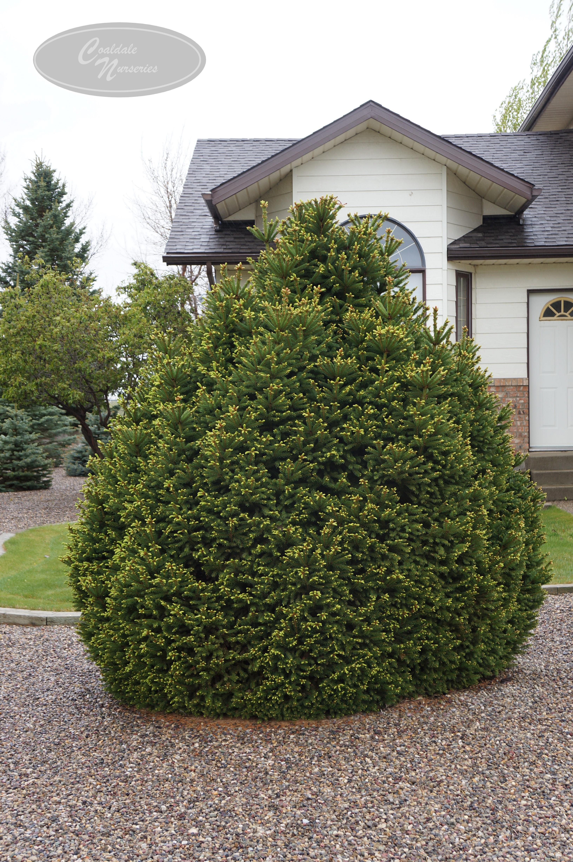 Ohlendorffi Spruce Image