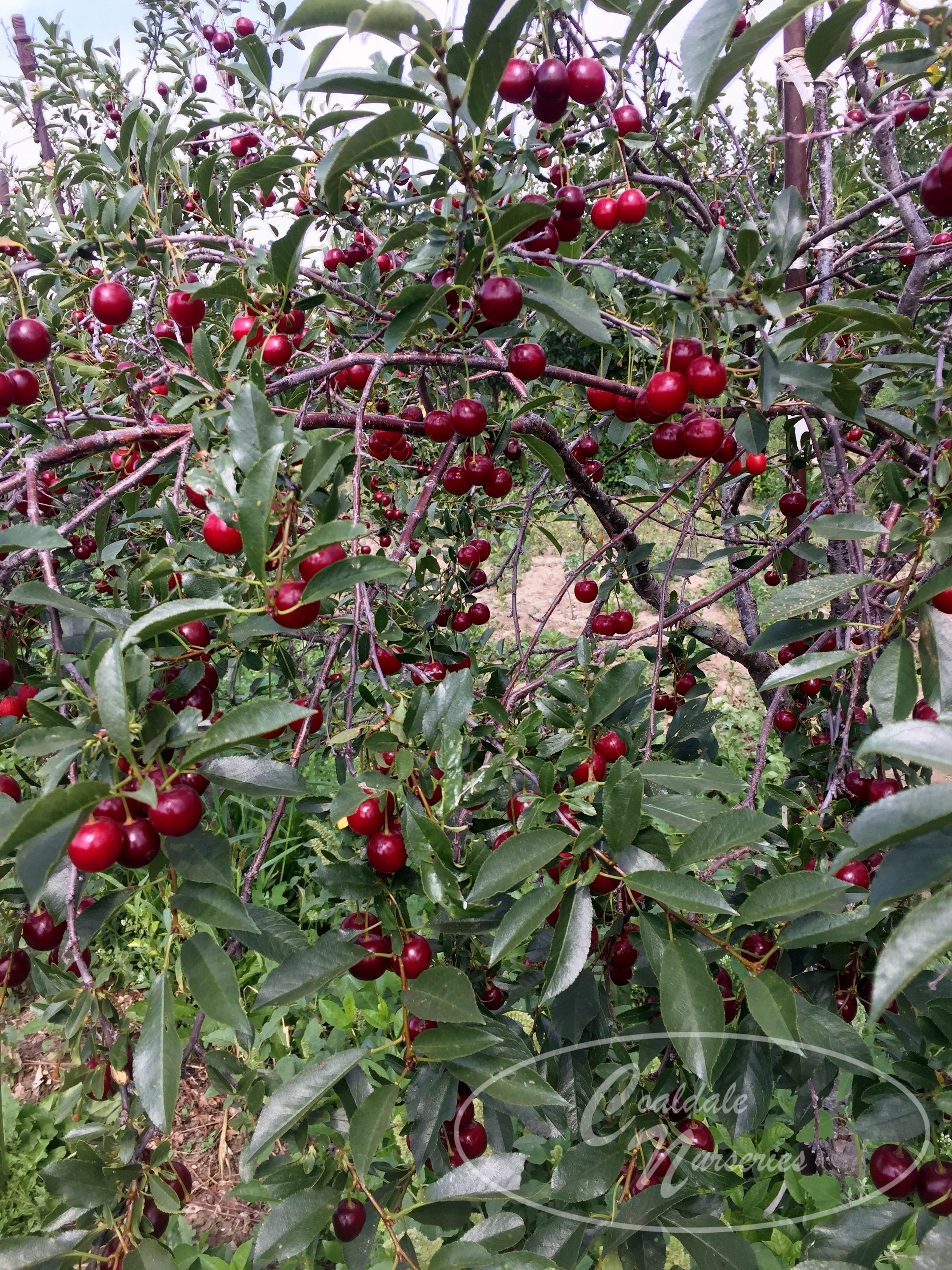 Carmine Jewel Cherry Image