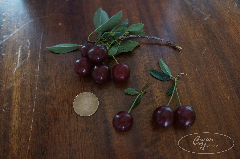 Cupid Cherry Image
