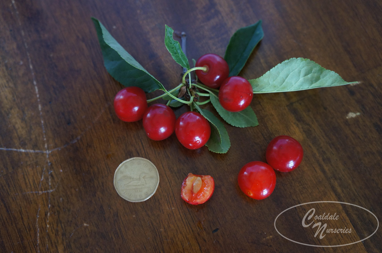 Evans Cherry Image