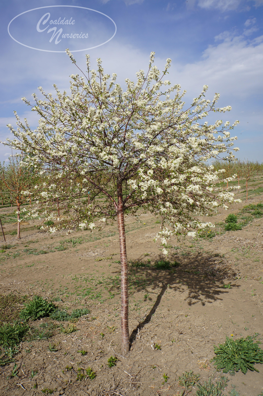 Pin Cherry Image