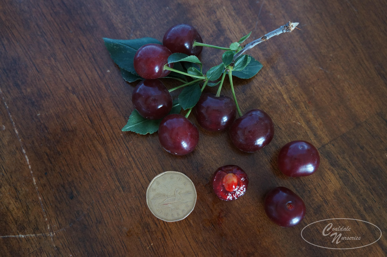Romeo Cherry Image