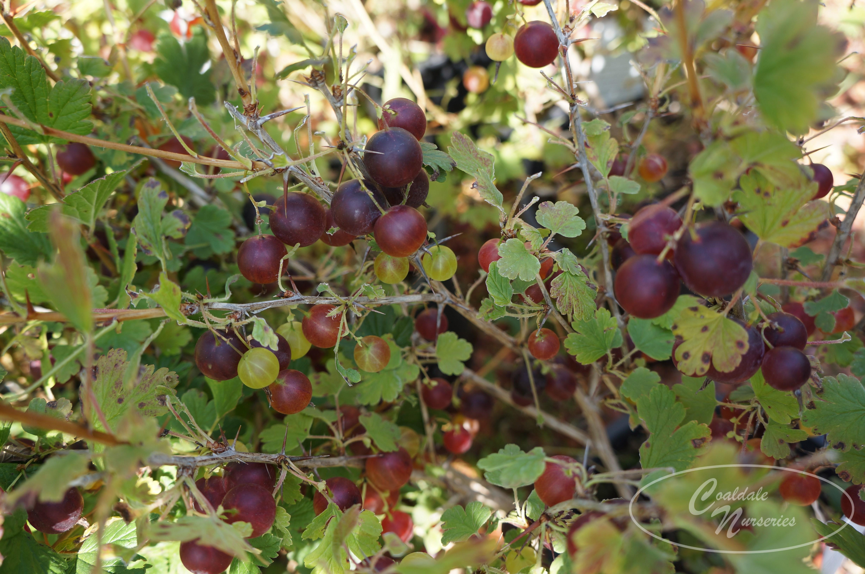 Pixwell Gooseberry Image