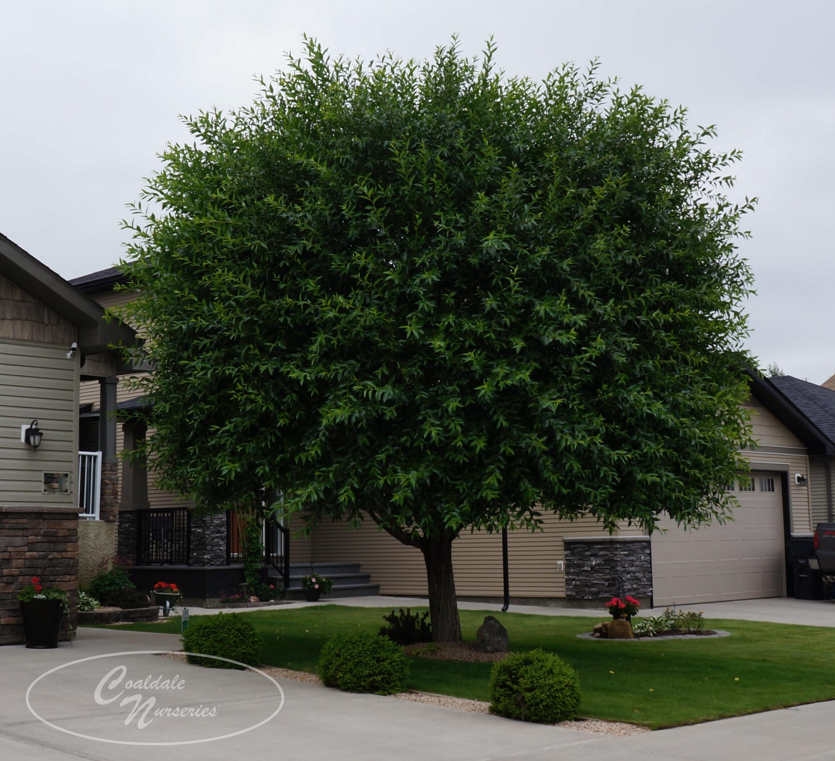 Laurel Leaf Willow Image