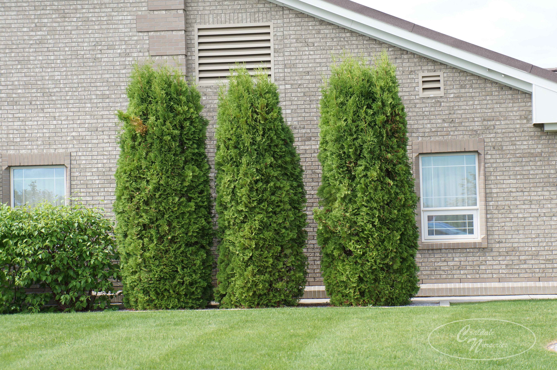 Brandon Pyramidal Cedar Image