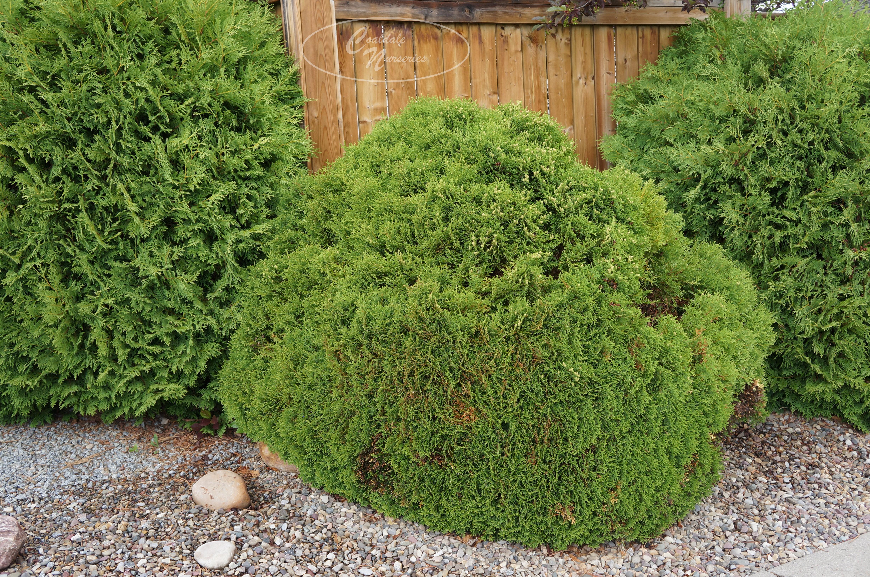 Hetz Midget Cedar Image