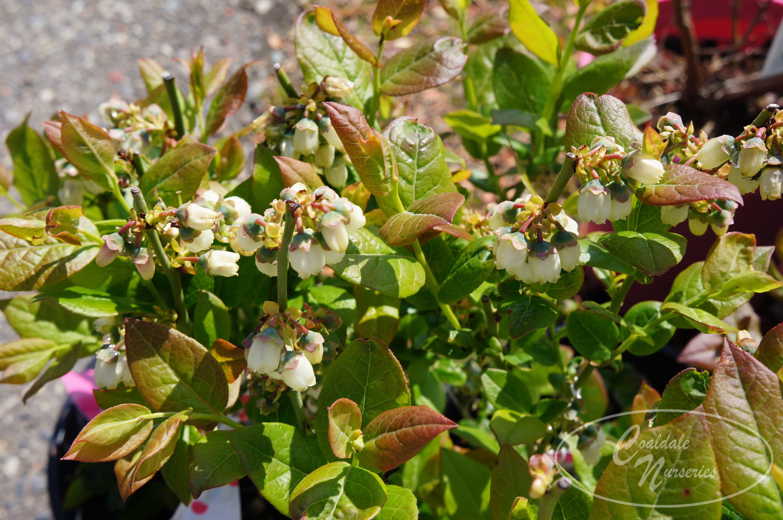 Polaris Blueberry Image