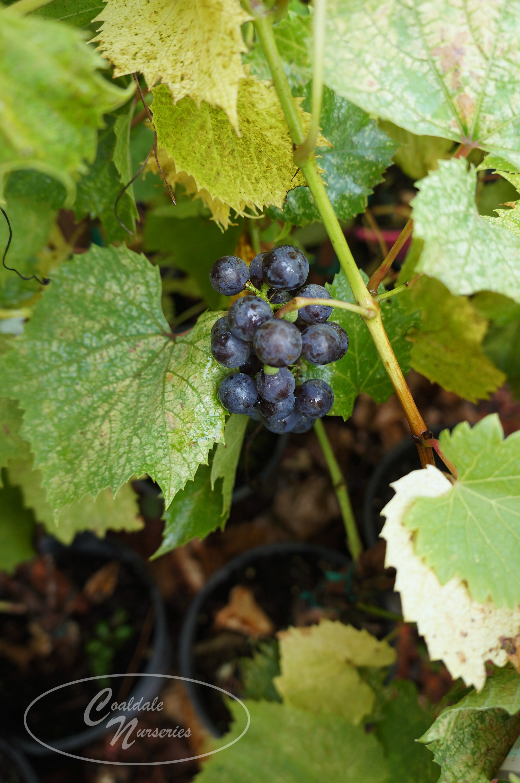 Beta Grape Image