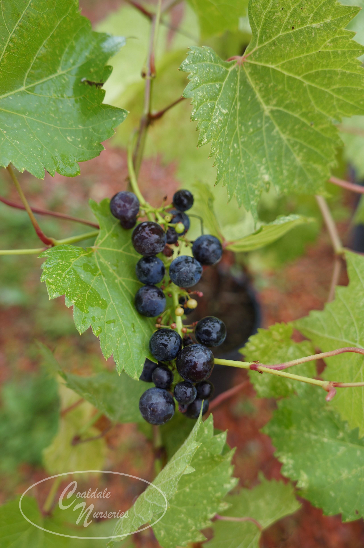 Marquette Grape Image