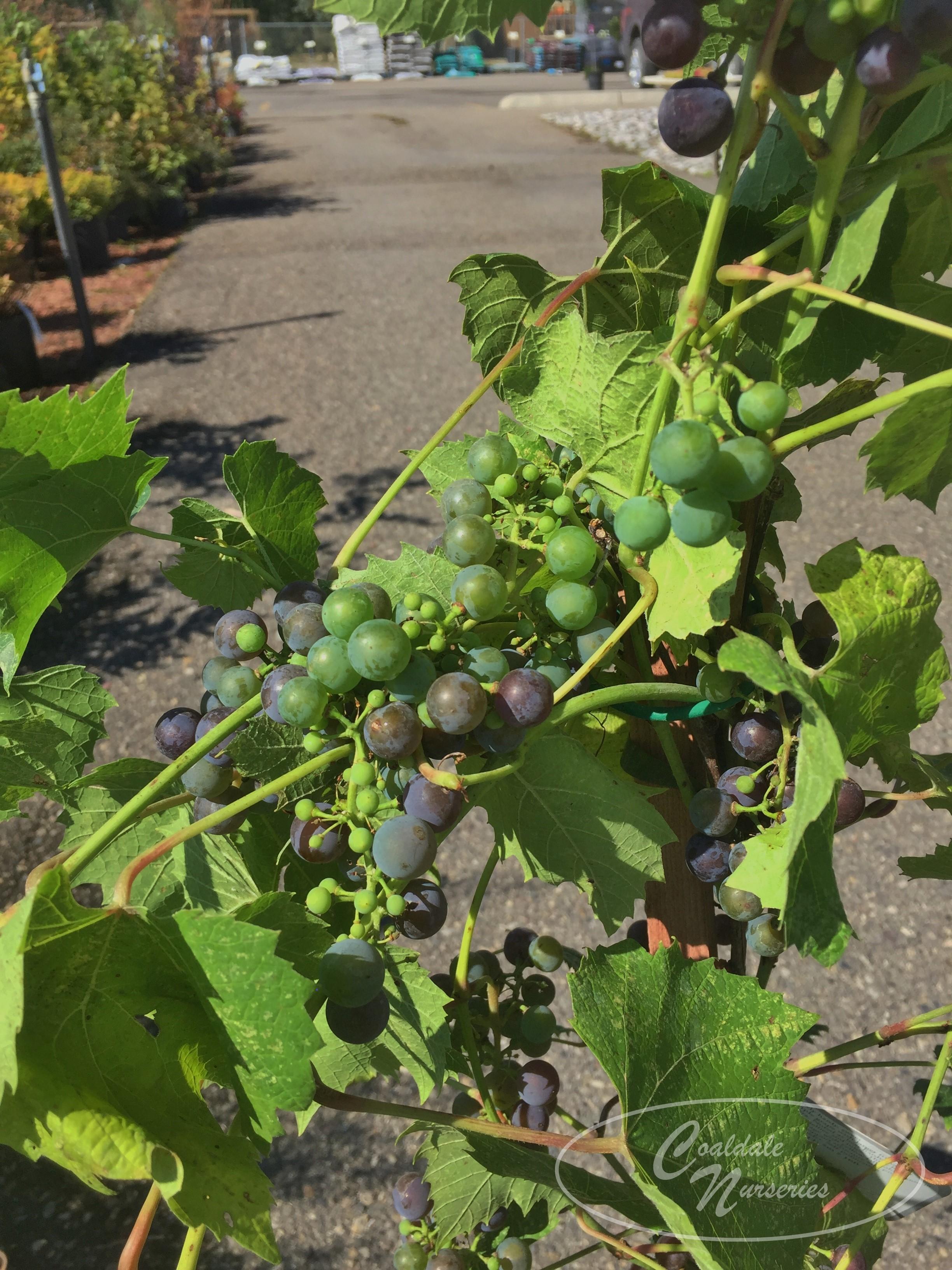 Minnesota Grape Image