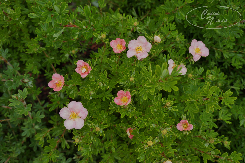 Pink Beauty Potentilla Image
