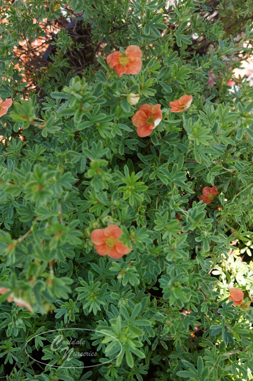 Red Robin Potentilla Image