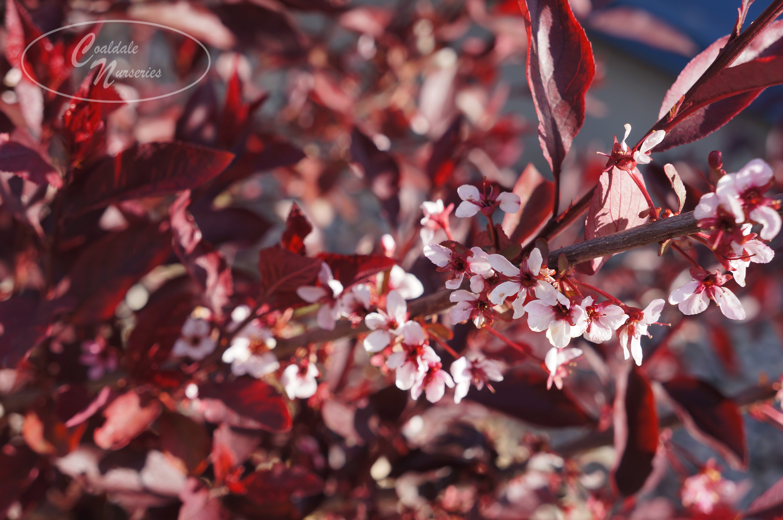 Purple Leaf Sand Cherry/Plum Image