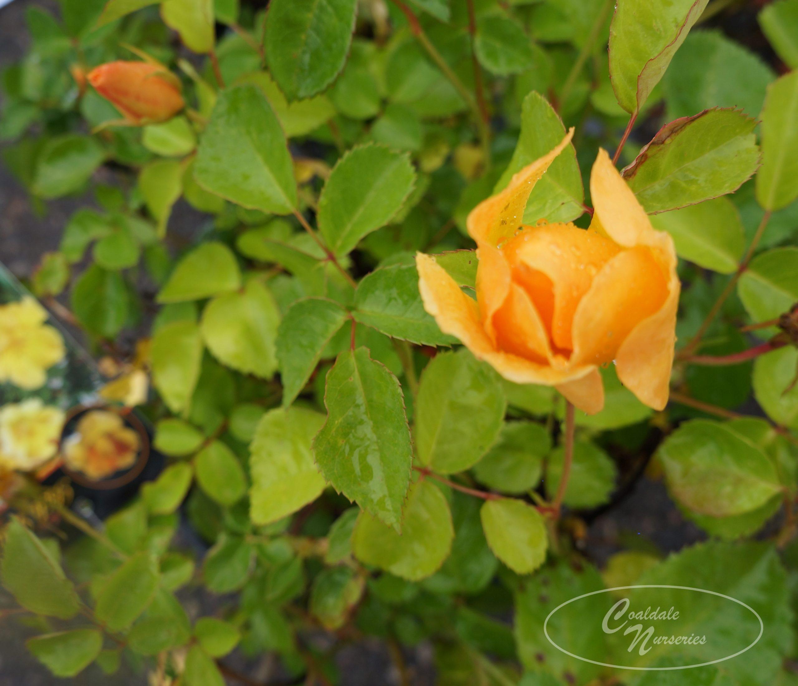 Bill Reid Rose Image