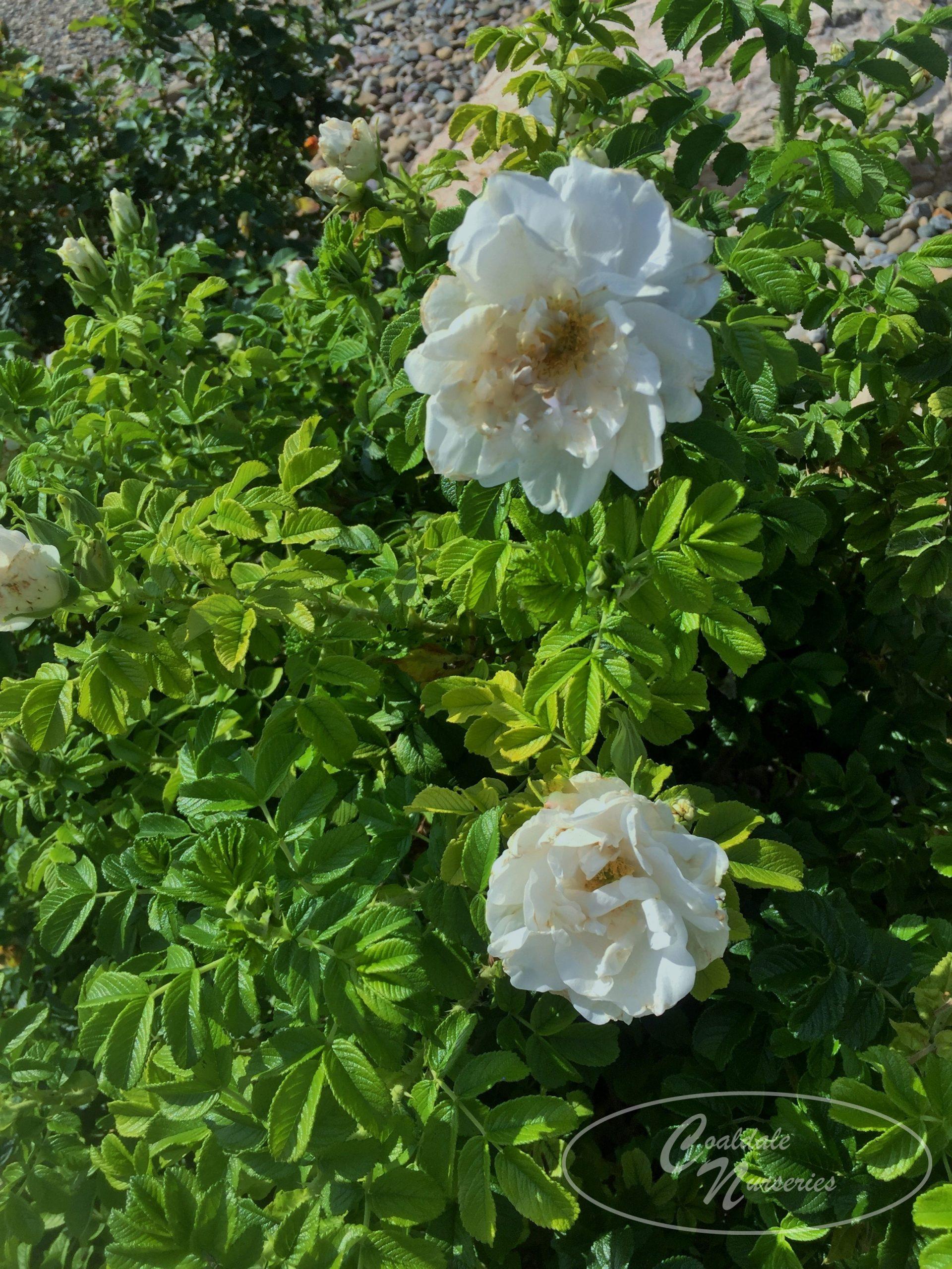 Blanc Double de Coubert Rose Image