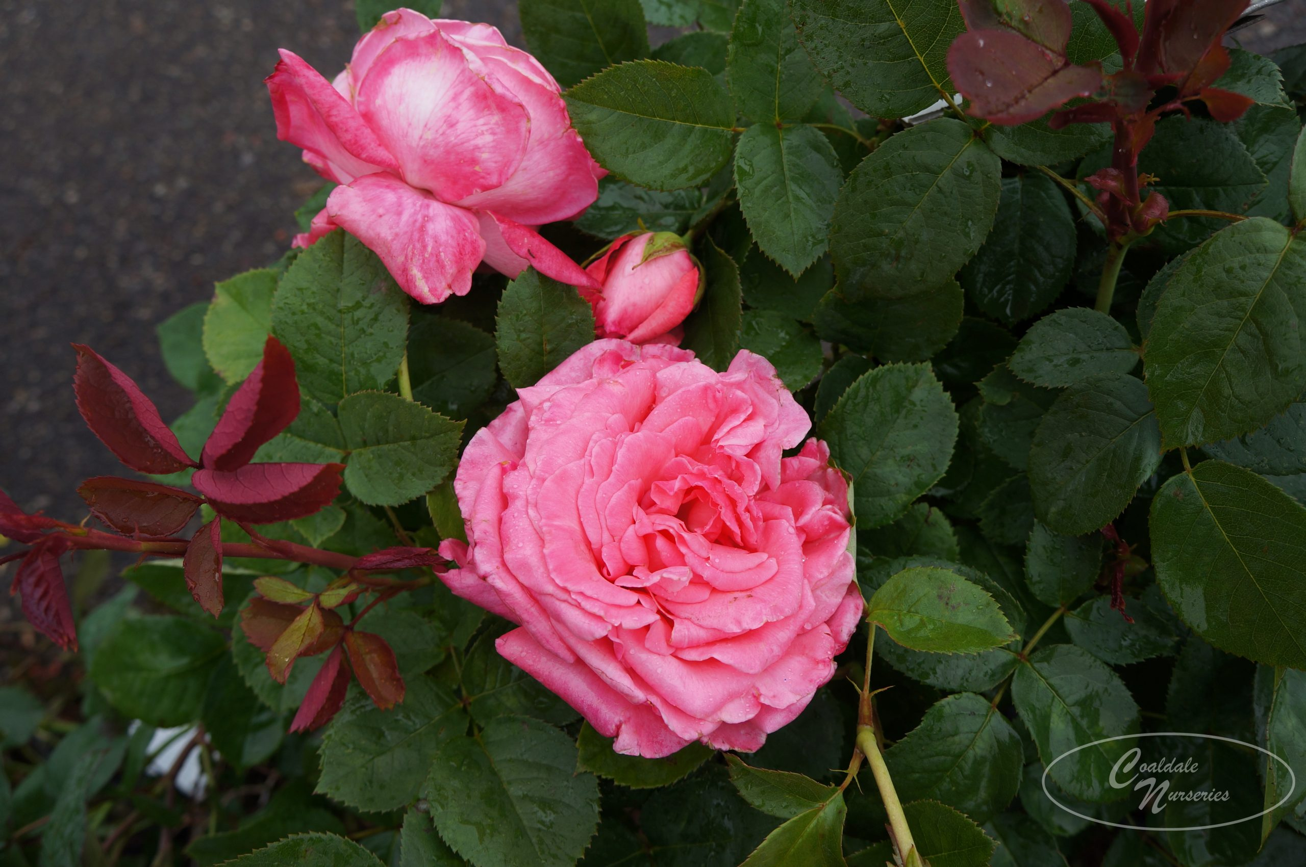 Canada Blooms Rose Image