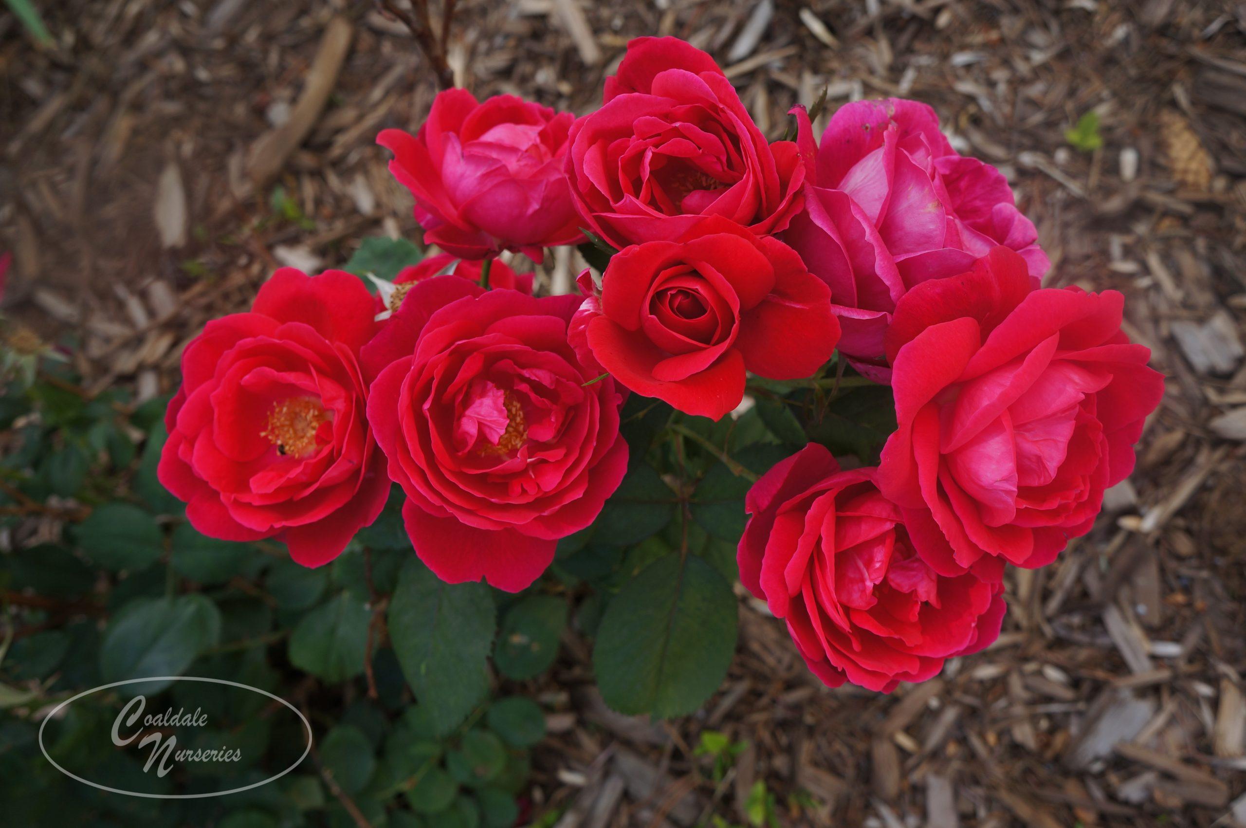Champlain Rose Image