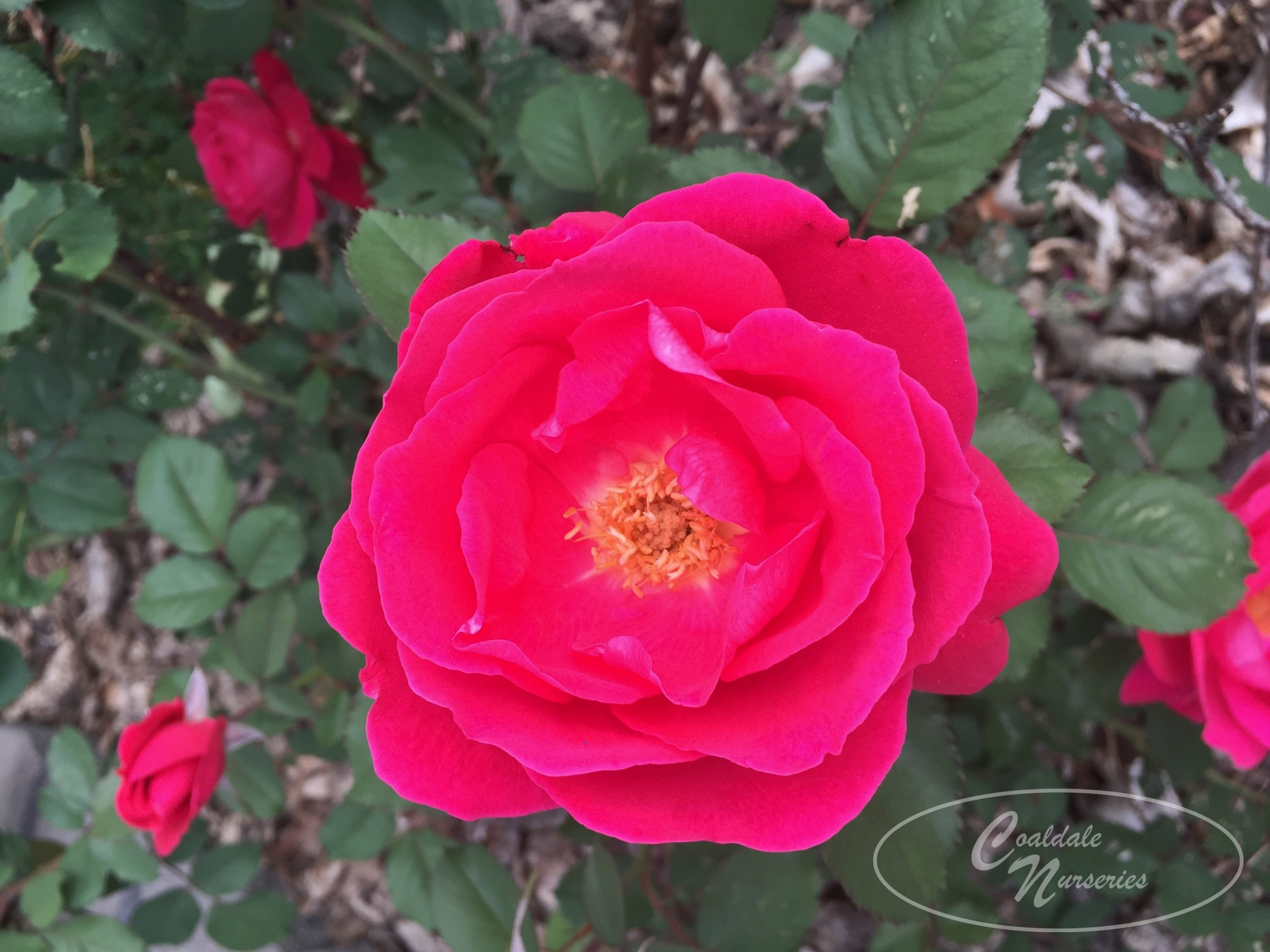 John Cabot Rose Image