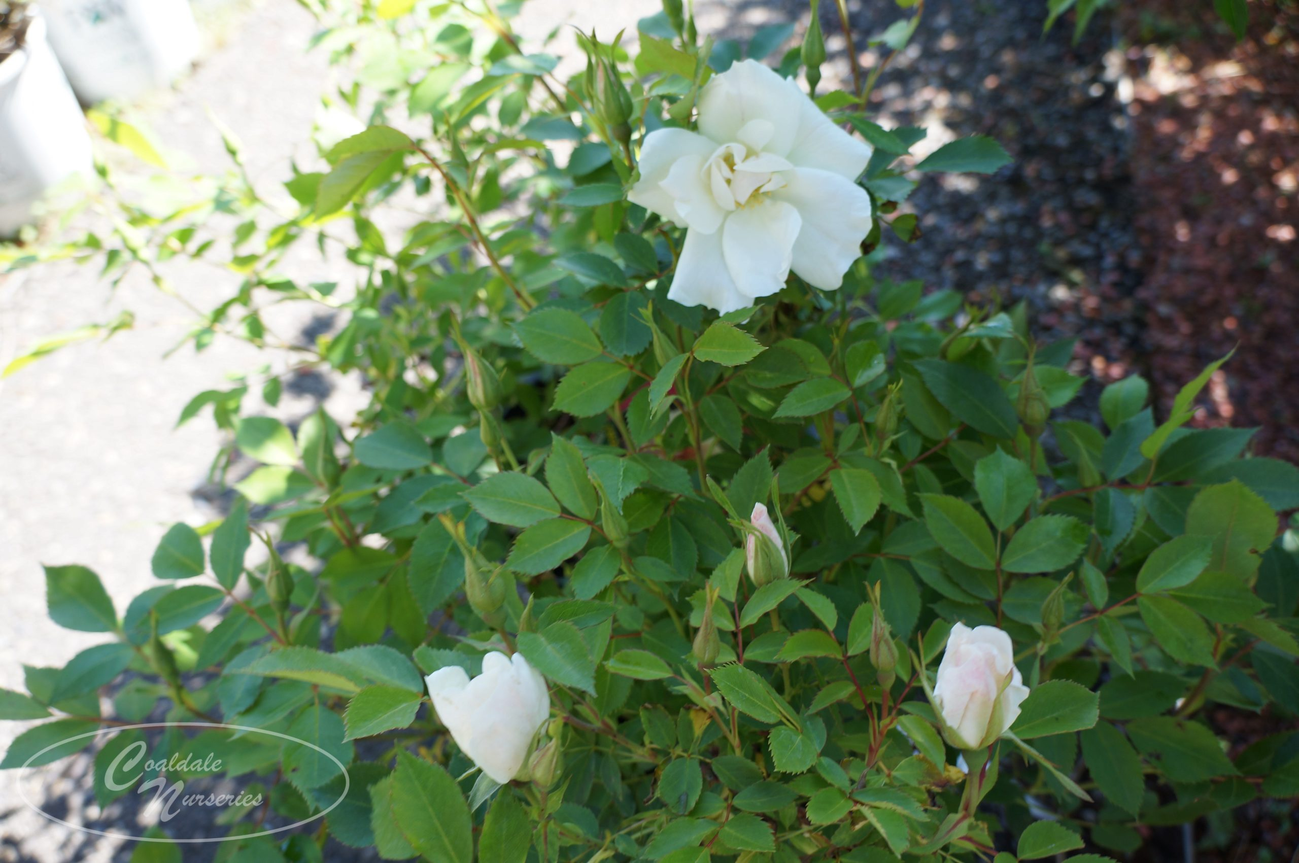 Morden Snowbeauty Rose Image