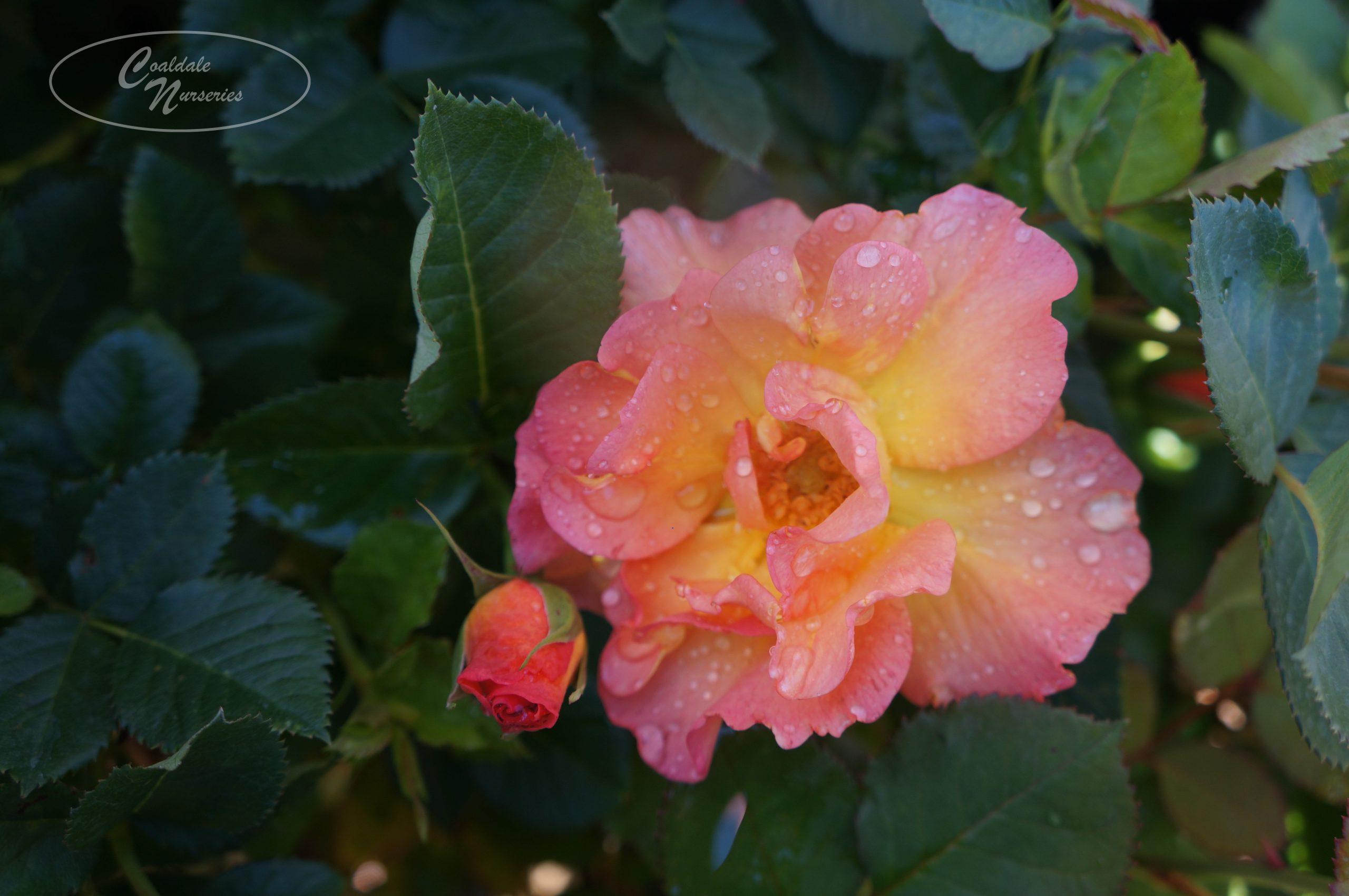 Morden Sunrise Rose Image