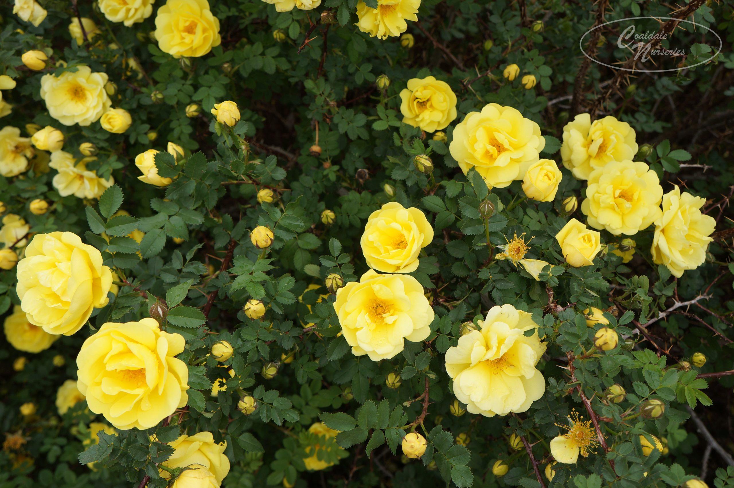 Persian Yellow Rose Image