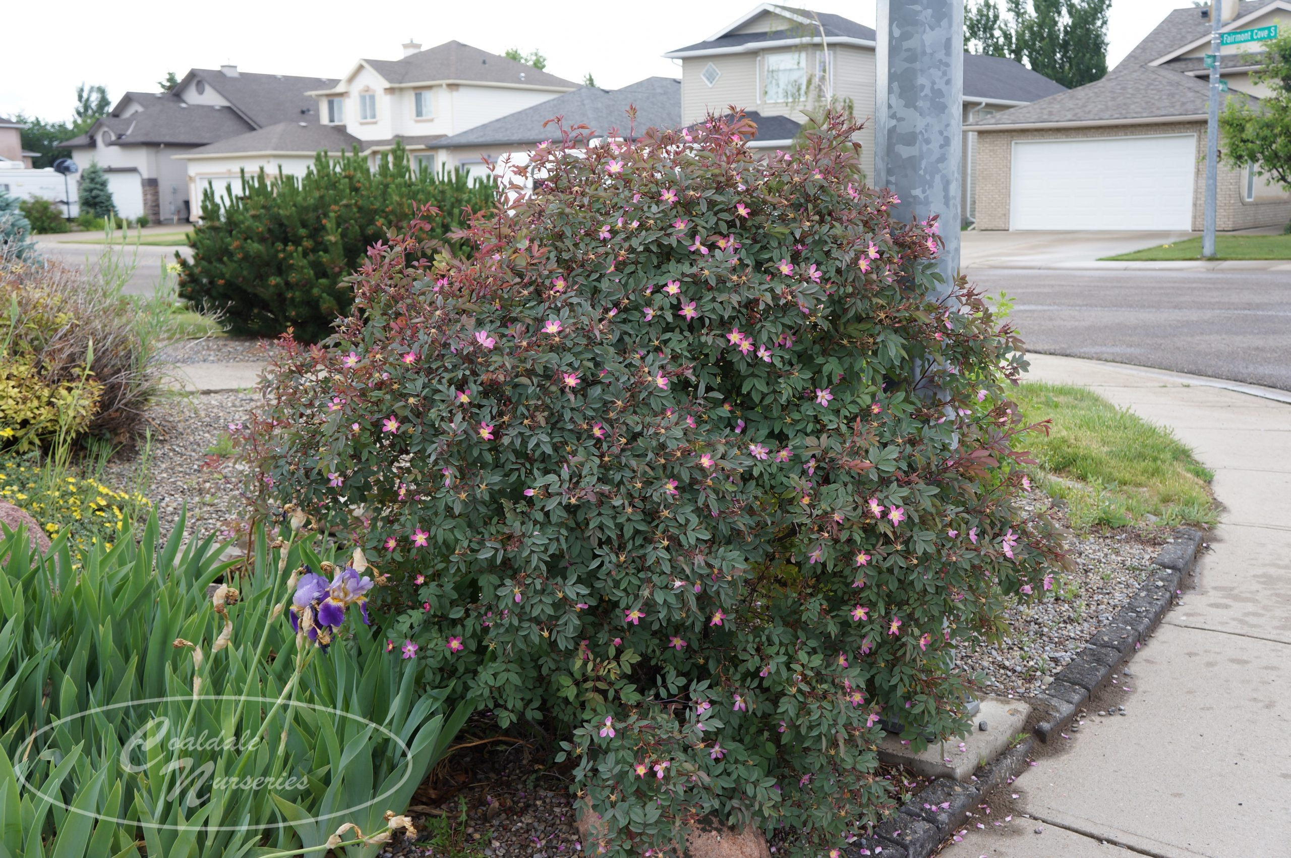 Red Leaf Rose Image