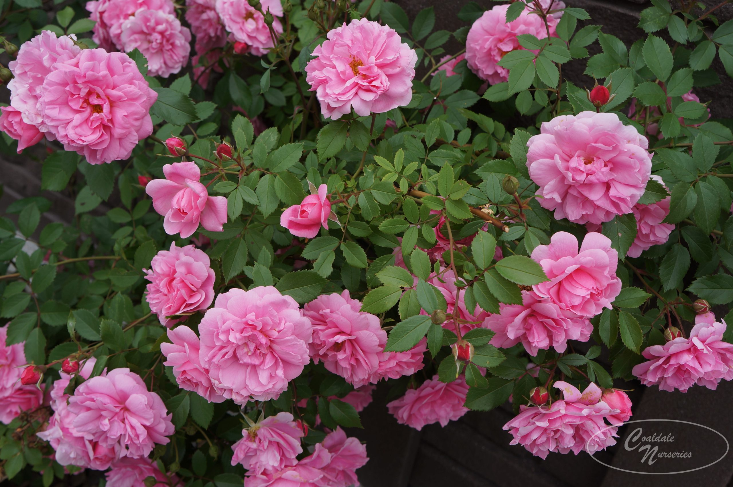Therese Bugnet Rose Image