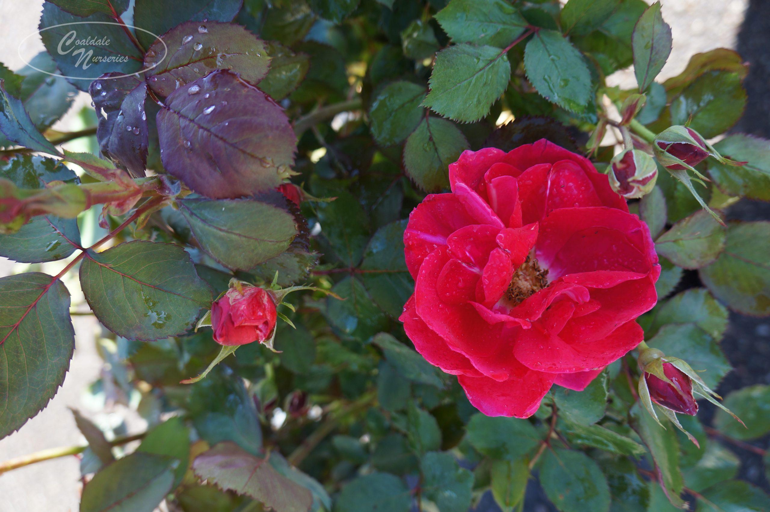 Winnipeg Parks Rose Image