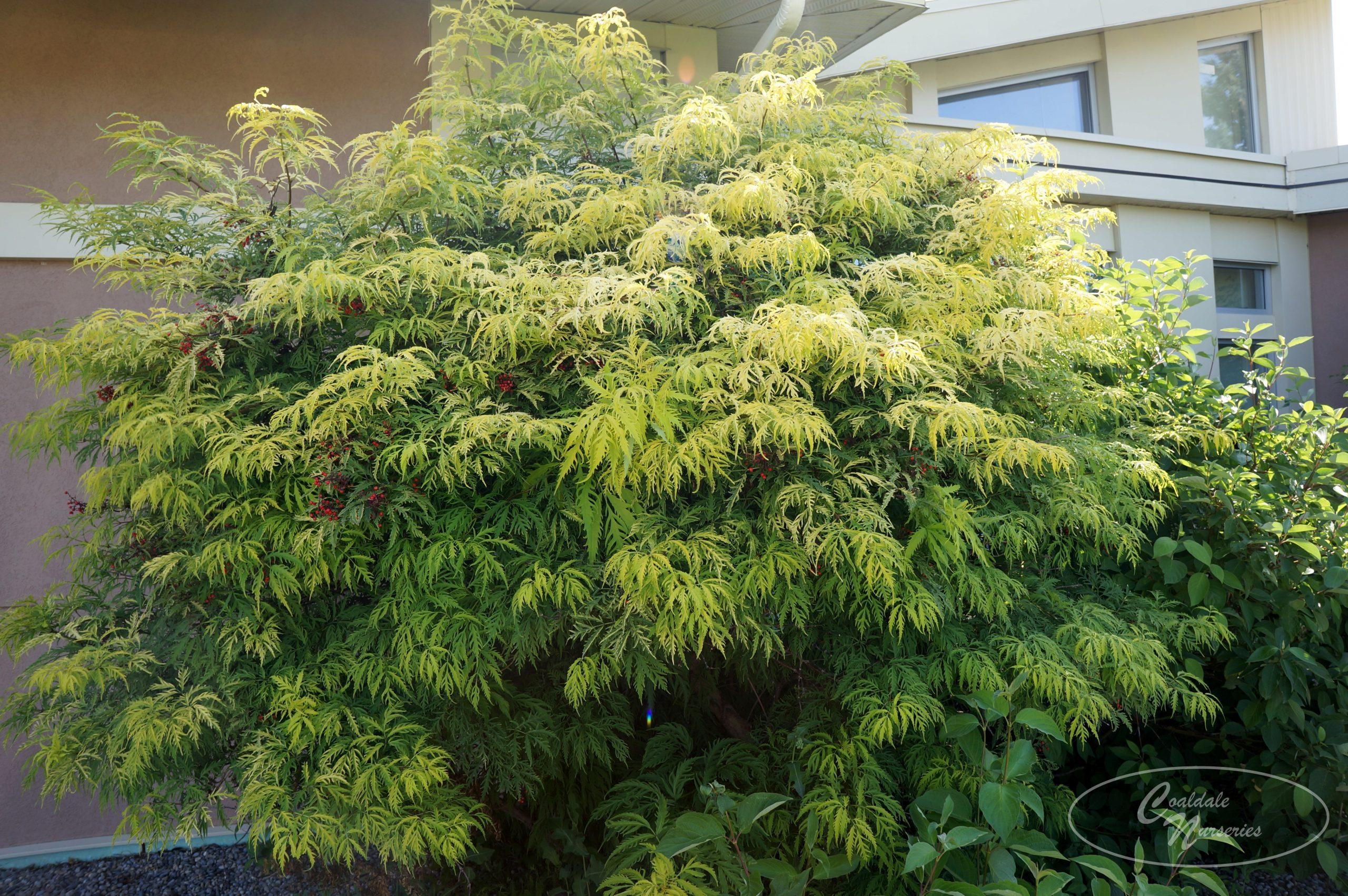 Golden Plume Elder Image