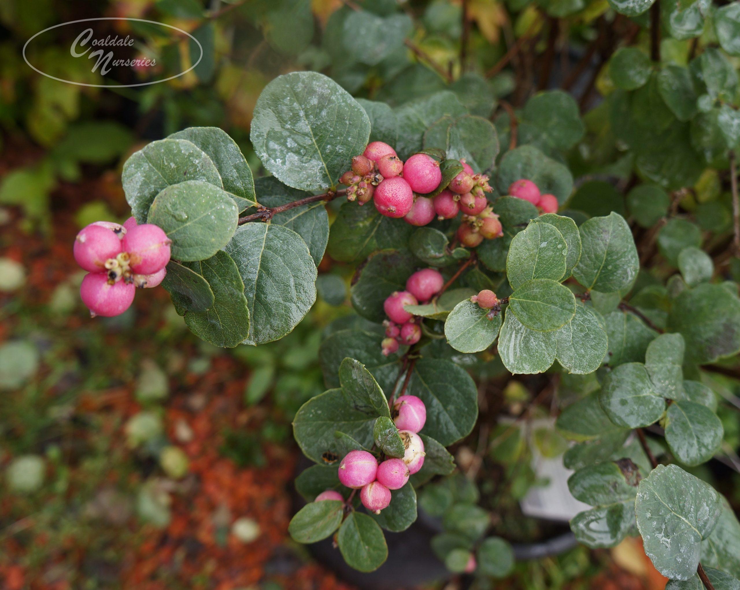 Marleen Pink Snowberry Image