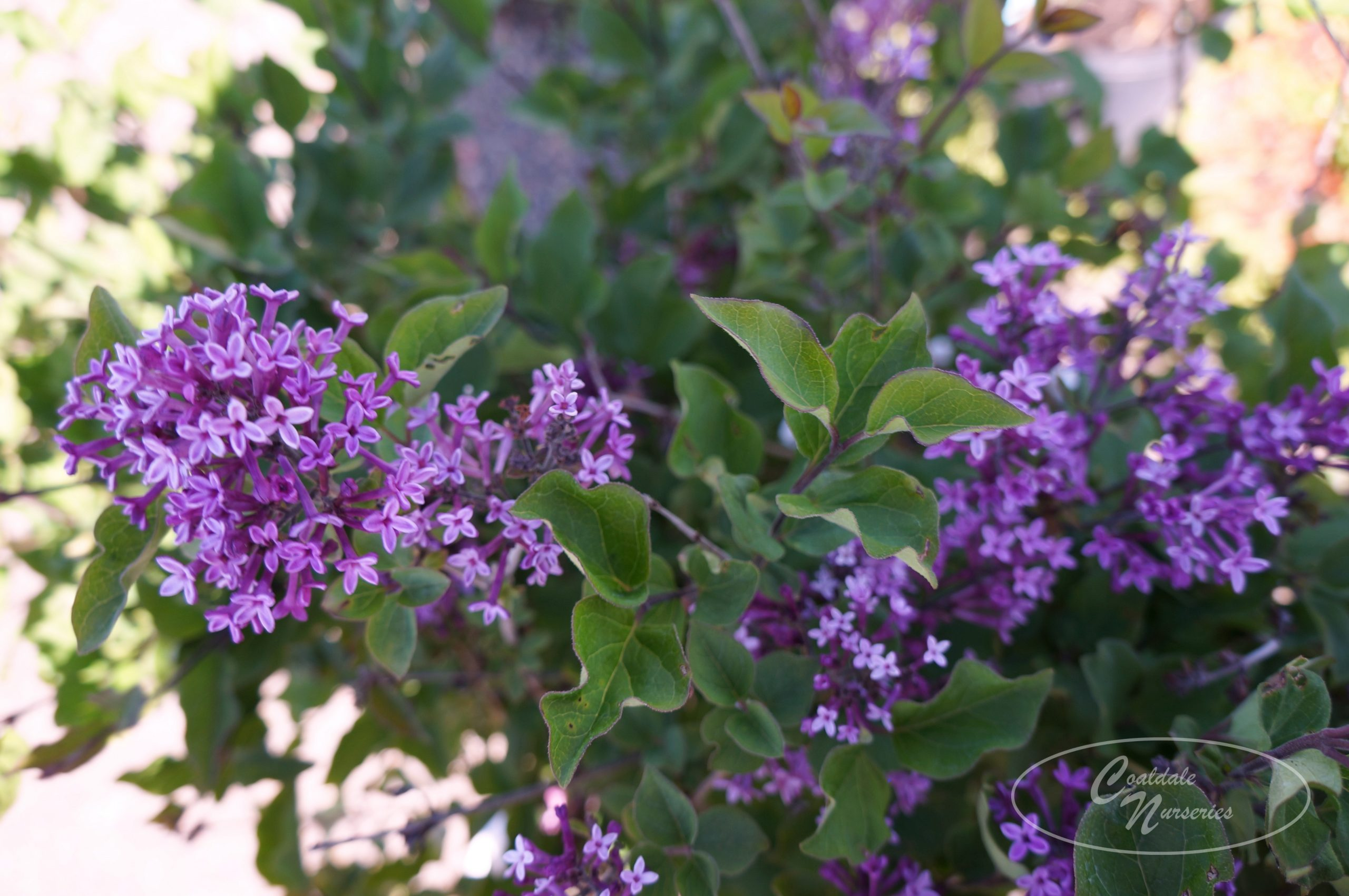 Bloomerang Dark Purple Lilac Image