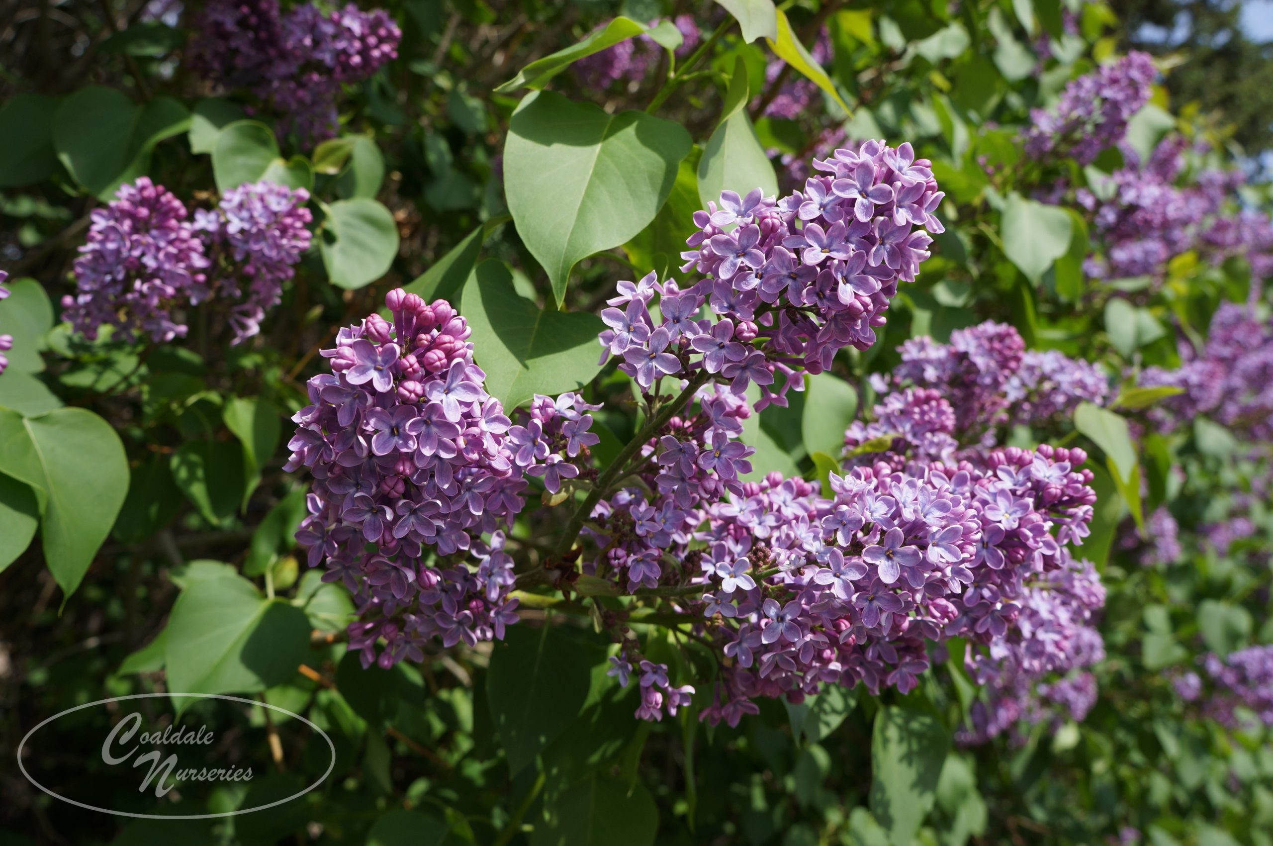 Common Lilac Image