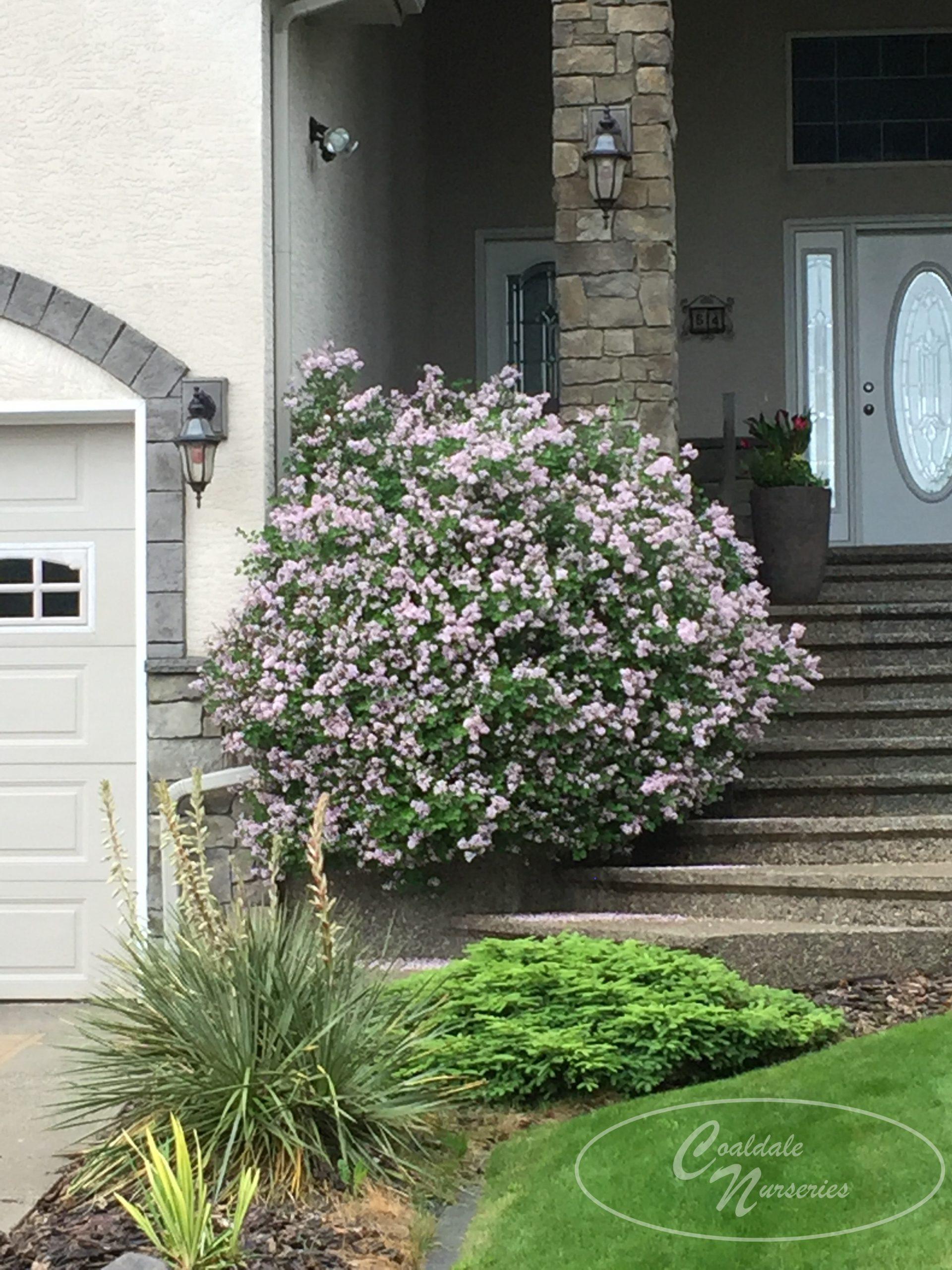 Dwarf Korean Lilac Image