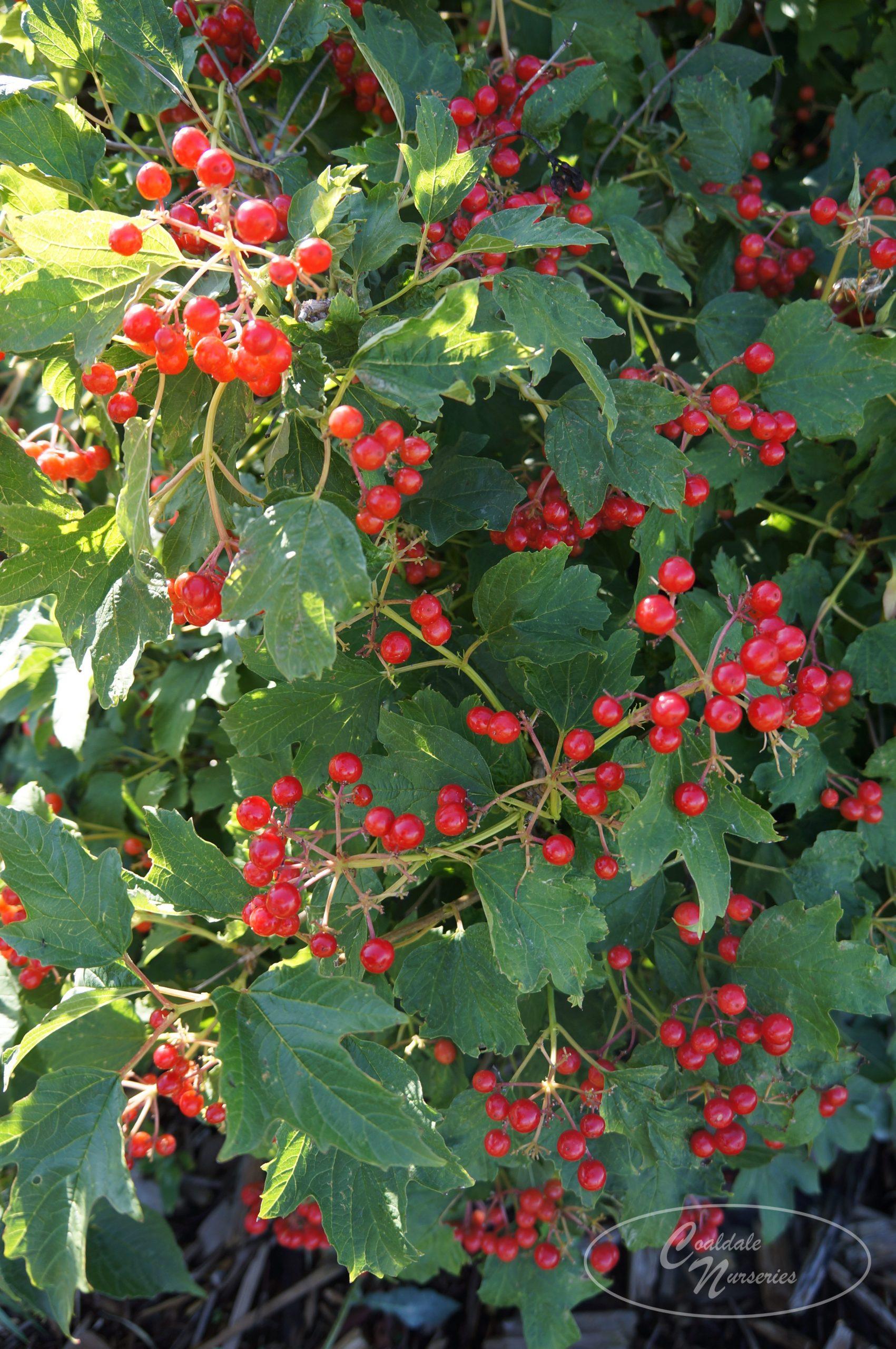 American Highbush Cranberry Image
