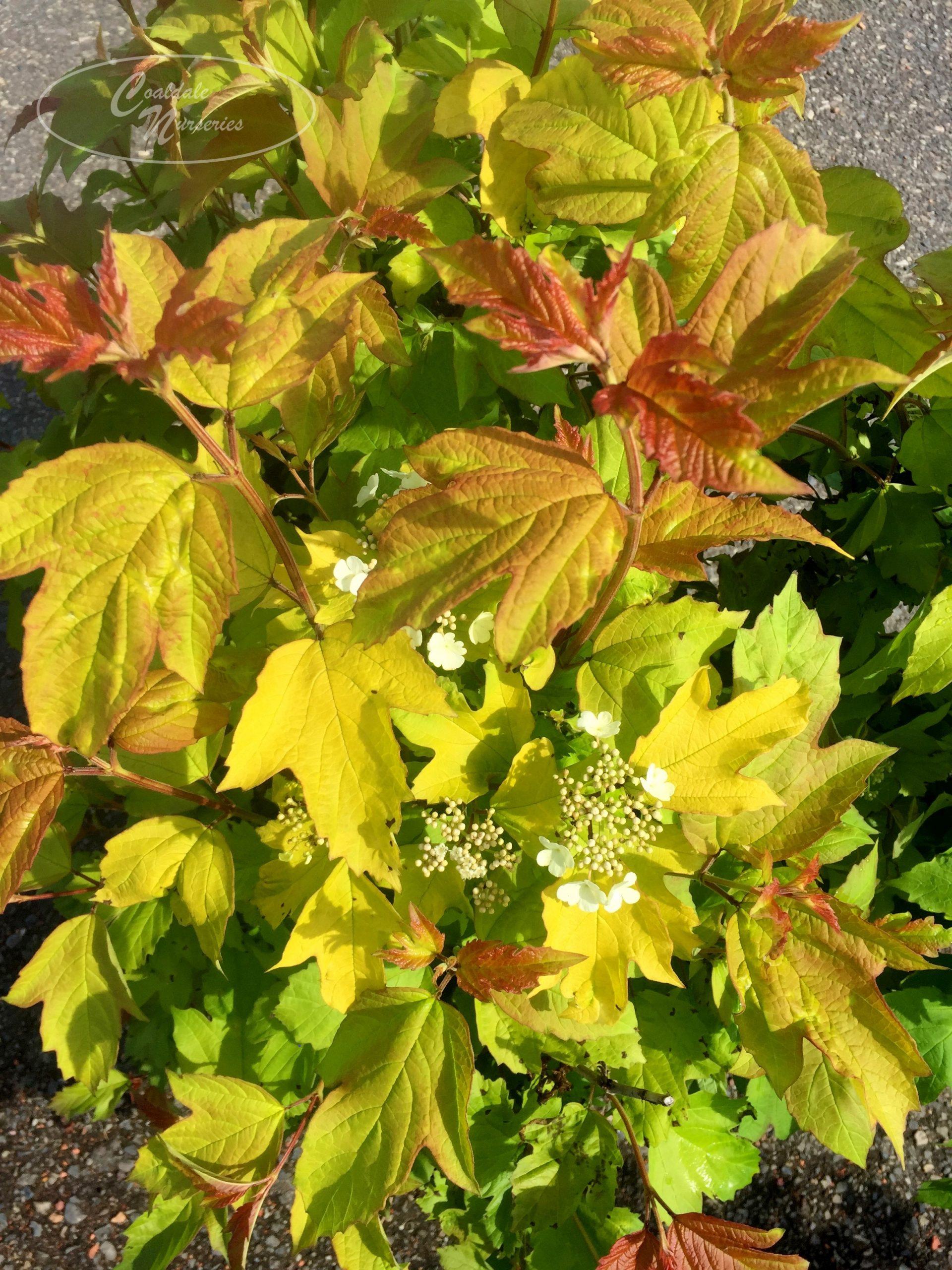 Oh Canada Cranberry Viburnum Image